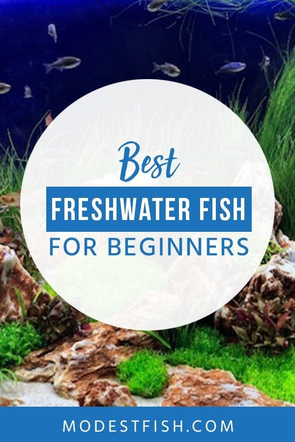 Looking for the best freshwater fish? If you're a beginner, here we will share some tips how to choose one and you'll discover some beautiful, entertaining buddies you can use to ease you into the hobby. #freshwater #fishforbeginner #fishtips #ModestFish