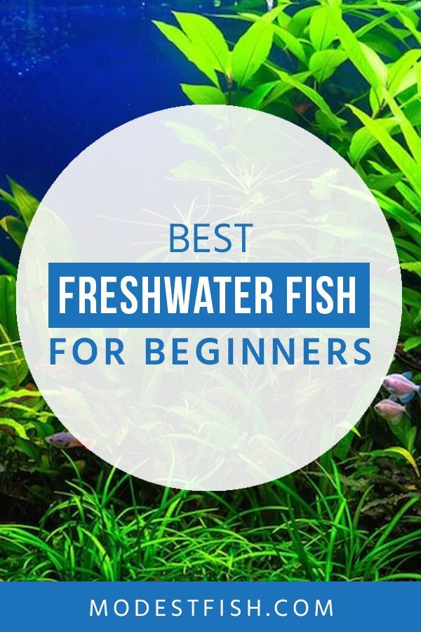Looking for the best freshwater fish? Check out this article from ModestFish that you'll discover some beautiful and entertaining buddies. Also, learn some tips for beginner fish keepers . So you can use to ease you into the hobby. #freshwaterfish #modestfis