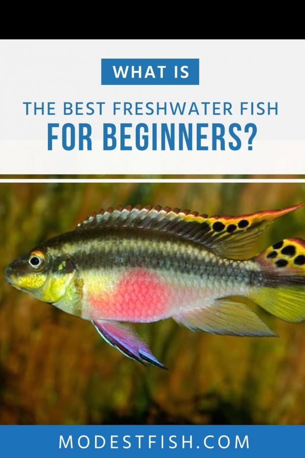 As a beginner, picking your starting fish is a hard work – there's so many different species! Here's you'll discover some beautiful, entertaining fishes for newbie that can use to ease you into the hobby. #modestfish #fish #fishtank