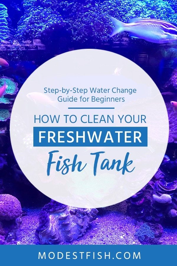 This is a detailed how to clean fresh water guide from ModestFish that will teach what you need to know about cleaning water step-by-step, It's simple guide for beginners. Also, you will learn the benefits of cleaning fish tank. #fishtank #cleaning #freshwater