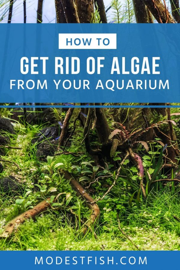 In this guide, you'll learn how to get rid of algae and understanding the causes and treatments for common types of algae including green, red and brown algaes that can affect the plants in your tank. #modestfish #aquarium #algae