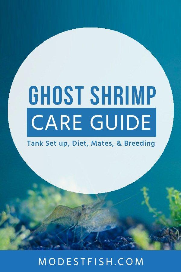 Everything you need to know about caring ghost shrimp. Covers topics such as ghost shrimp as feeder fish, feeding and breeding ghost shrimp and more. So you can make them a great addition to most freshwater aquariums. #ghostshrimpcare #modestfish
