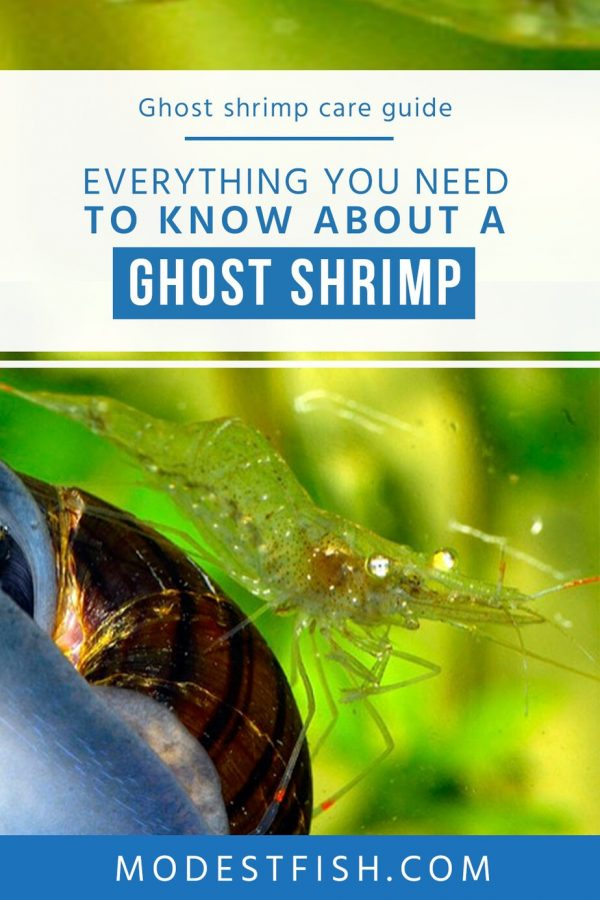 Read on this article, everything you need to know about a Ghost shrimp. Covers topics such as how to set up a ghost shrimp tank, diet & feeding, tank mate for ghost shrimp and how to breed Ghost shrimp. #modestfish #shrimp #fishtank