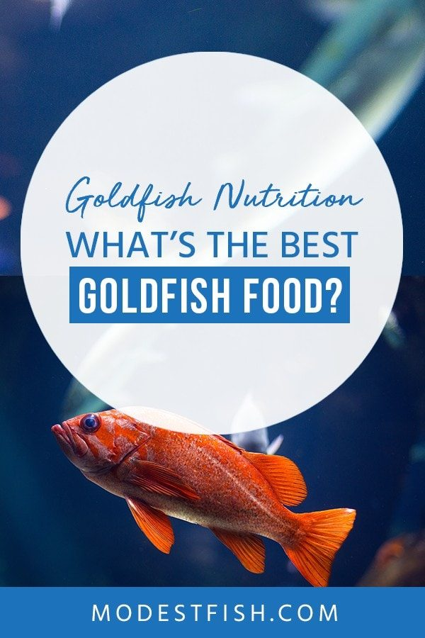 Best Goldfish Food? Here's The Science Behind Feeding Goldfish