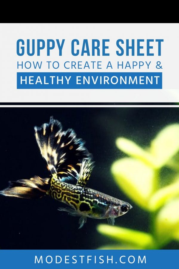 In this article, you'll discover the exact steps you need to take in order to provide your beautiful guppy with a happy and healthy environment. #guppyfish #modestfish