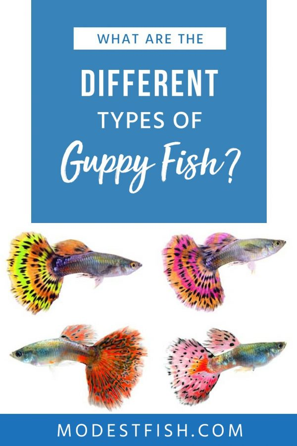 Use this easy to follow guide to learn the different types of guppy fish. You'll learn inside tips and tricks to ensure a healthy environment. #modestfish #guppy #fish
