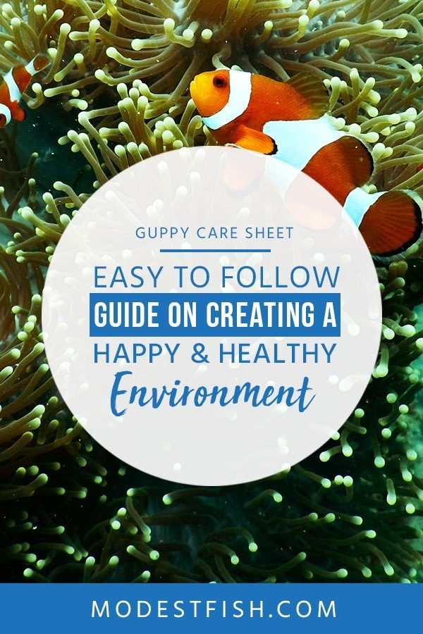 This is a detailed Guppy care guide from ModestFish that will teach you the step to take in order to provide your beautiful Guppy, and covers topics such as fish tank set up, water parameters and diet and feeding. #guppy #fishtank #setup