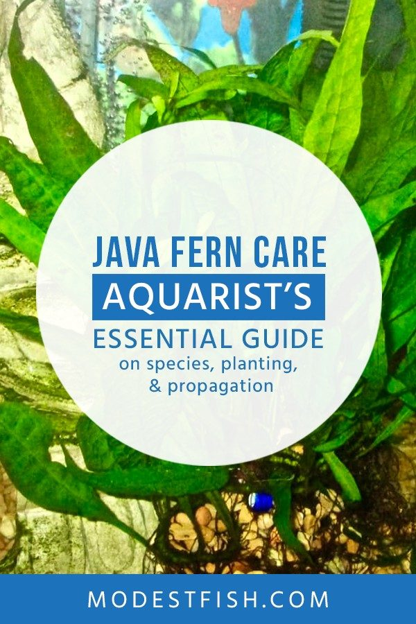 We've had great success keeping java fern, and in this guide we're going to reveal all. You'll learn how to provide the optimal care so your java fern thirves. #modestfish #aqaurium #fern