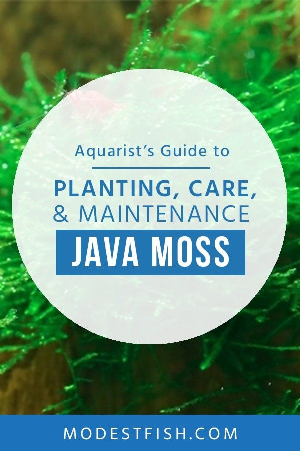 Java moss is the most popular aquatic plants used for aquascaping. In this guide, you'll learn how to provide the right conditions so it'll thrive and the different ways you can use it in your tank. #modestfish #aquarium #aquascaping