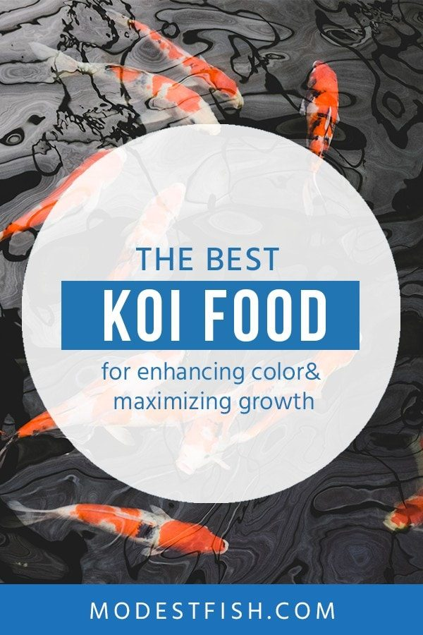 Looking for the best Koi food? Here's everything you need to know about how to feed your Koi – from what affects how Koi process food to the additives you can use to encourage beautiful colors in your Koi. #modestfish #koitank #fishcare
