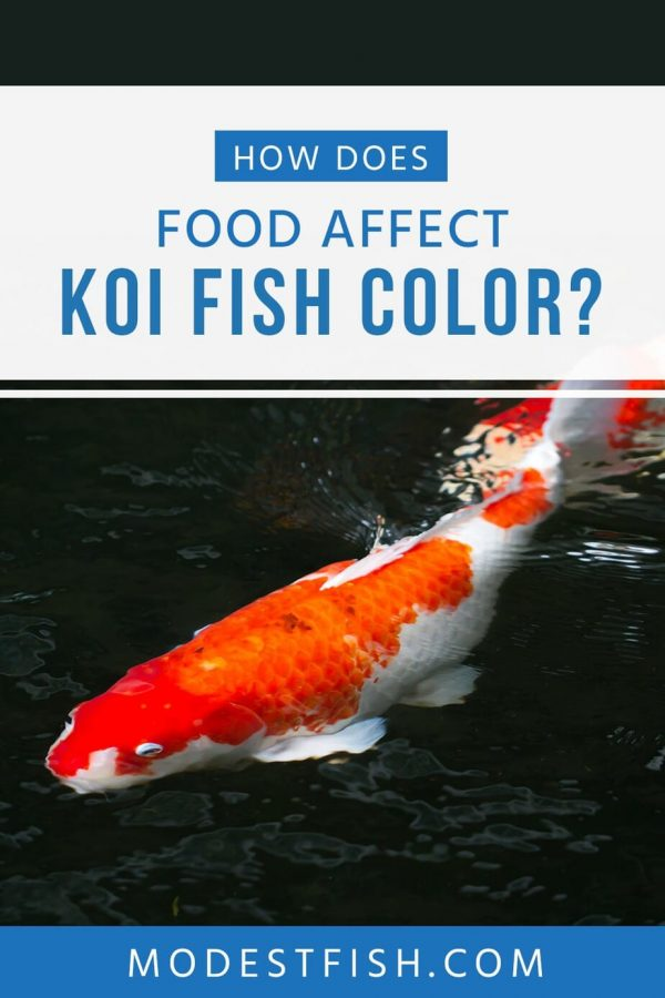 In this article, you'll learn how koi food affects color and growth, as well as get reviews for the best on the market so you can make the best choice.. #modestfish #koi #fish