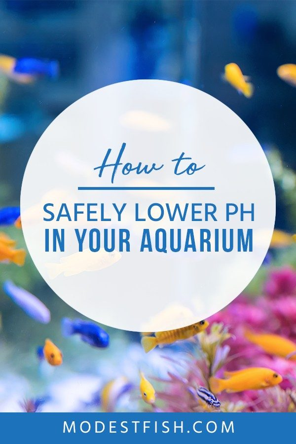 In this article you'll learn how to safely lower the pH in your aquarium so you don't further stress your buddies. Covers topics such as bacterial fish diseases, parasitic fish infections and more. #aquarium #aquariumwater #aquariumPh #ModestFish