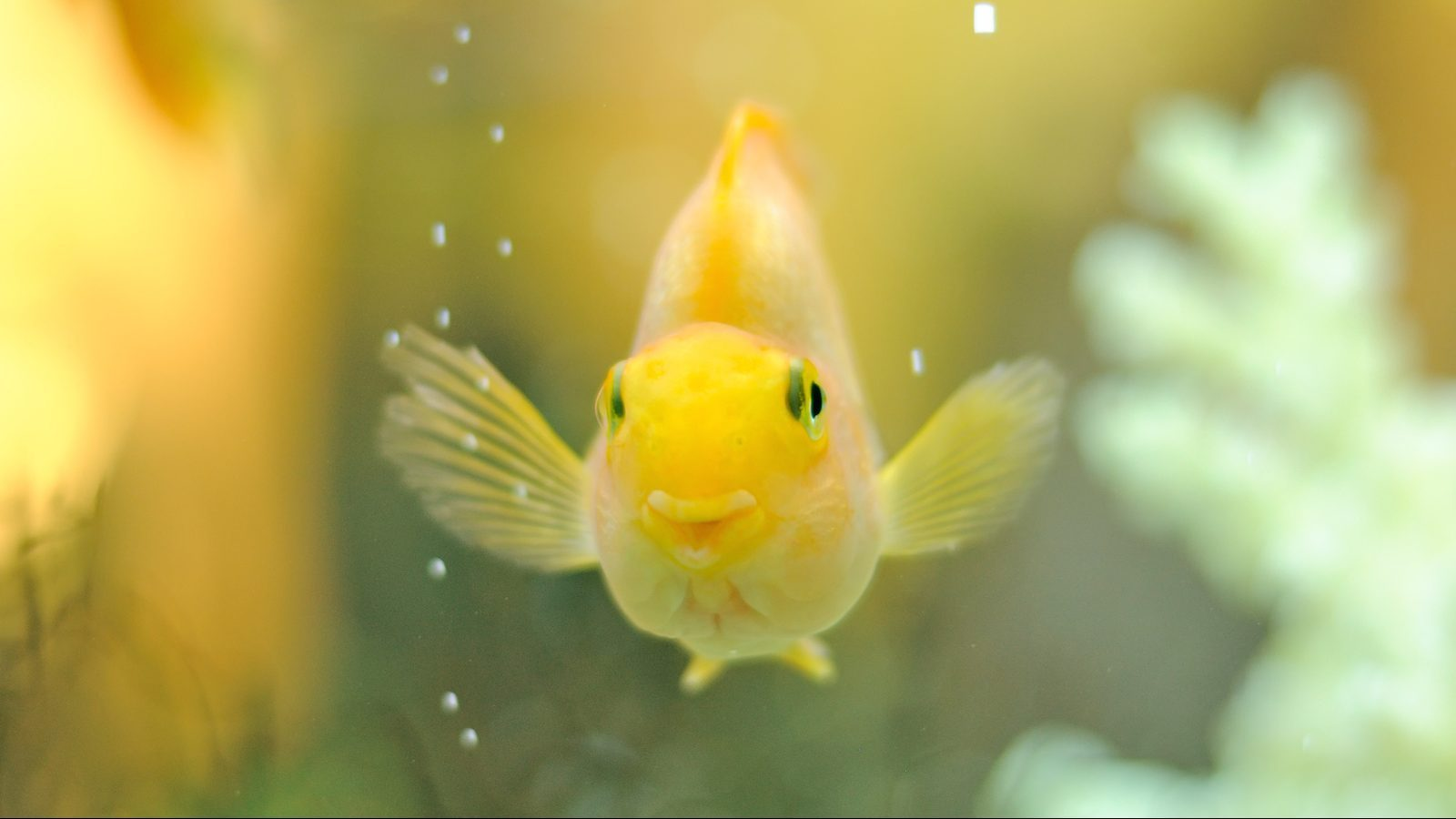 Happy Gold Parrot Fish in Aquarium