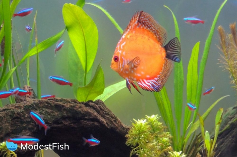 Neon tetra with discus