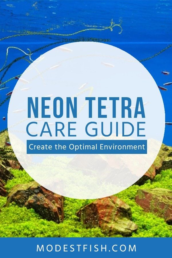 In this article, we 'll walk you through how you can provide the optimal care. So you can enjoy of your small schooling fish. #Neontetracare #modestfish