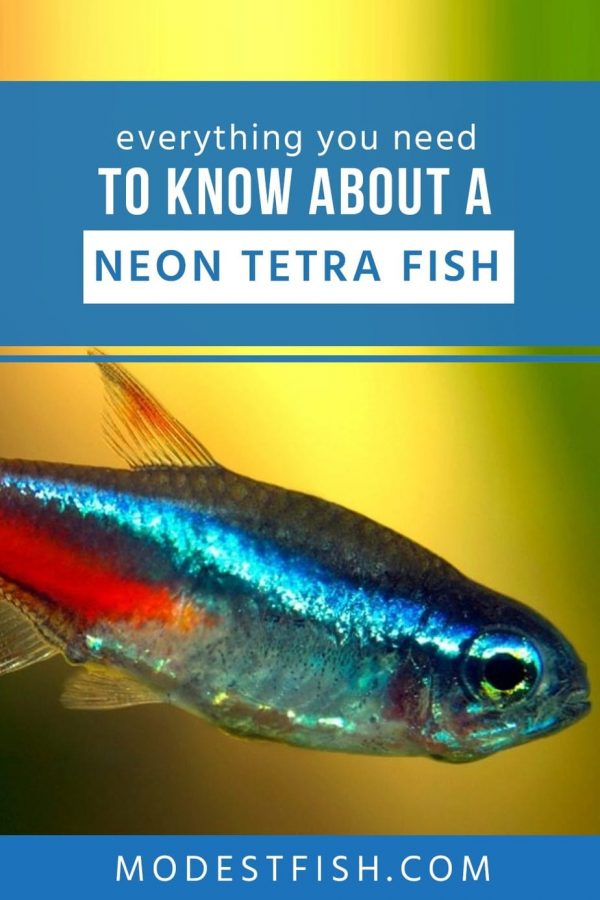 Learn how to provide the right care to your small schooling fish with this care guide including breeding Neon tetra, setting up a Neon tetra tank #modestfish #fishcare #aquarium