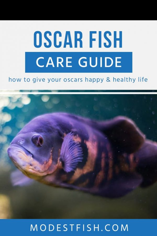In this guide, you'll learn everything you need to provide quality care for this intriguing freshwater tropical fish. Covers topics such as aquarium set up, feeding and breeding. #modestfish #oscarfish #fishcare