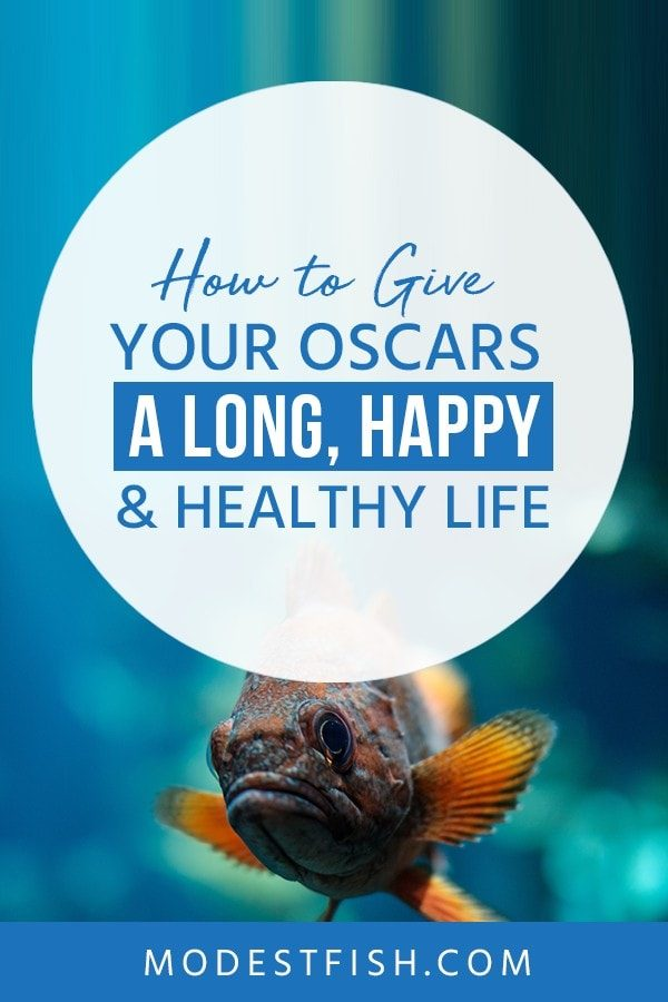 This is a detailed Oscar Fish CareGuide from ModestFish that we will teach everything you need to provide quality care for Oscars fish . Covers topics such diet feeding, fish tank setup, Breeding and Disease, illness, and treatments. #aquarium #breeding #fishcare #ModestFish