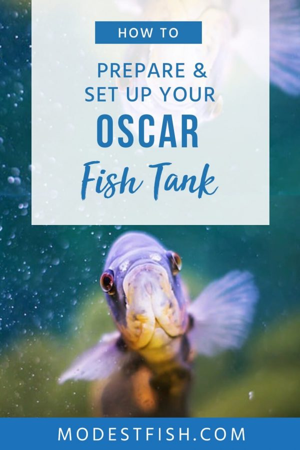 This expert guide to help provide the ideal care and living conditions for Oscars. Including housing, water conditions, breeding, and disease treatment. #modestfish #oscarfish #fishtank #fish