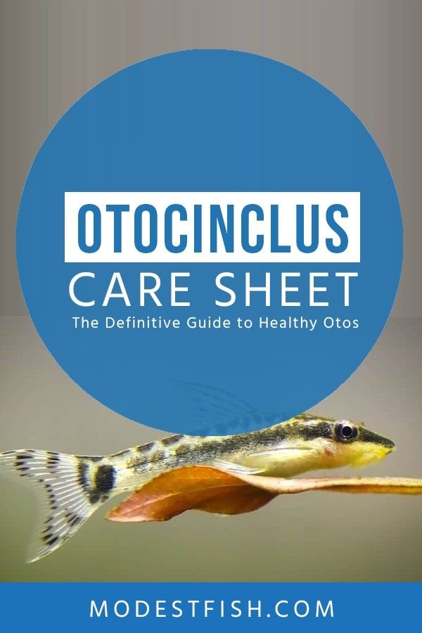 In this article, you're about to learn in this Otocinclus catfish care guide and learn how you can avoid the common mistakes which cause many hobbyists to lose their Otos in the first month. #fishcare #modestfish