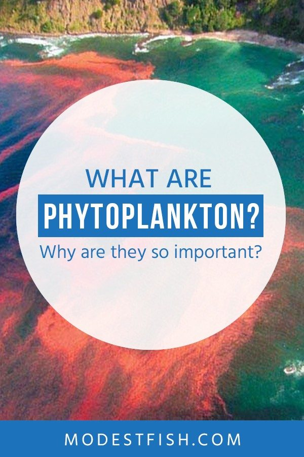 In this article, we're going to discuss what Phytoplankton are and why they're so important. This tiny organism could be considered one of the main foundations because they give a benefits for our ecosystem. #marinephytoplankton #modestfish