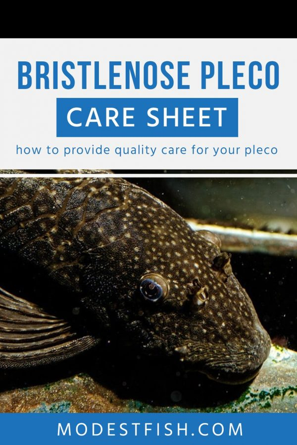 This Bristlenose catfish make an excellent addition to most fish tanks. Here's all the information you need to provide your Bristlenose Pleco with the care it needs. #modestfish #plecofish #fishcare