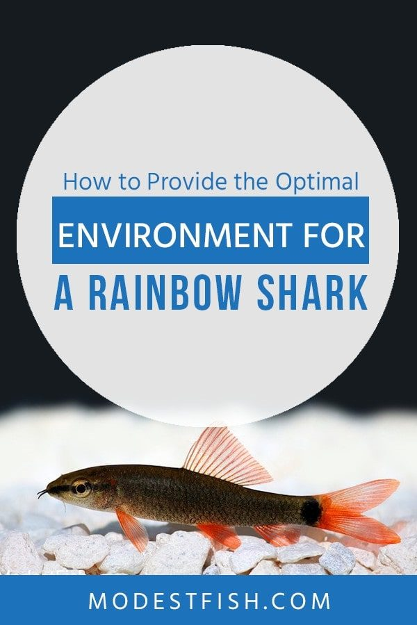 This guide, everything you need to know about Rainbow shark including feeding, breeding technique, Rainbow shark's tank mates and more. So you can keep your fish happy with good environment. #rainbowsharkcare #ModestFish