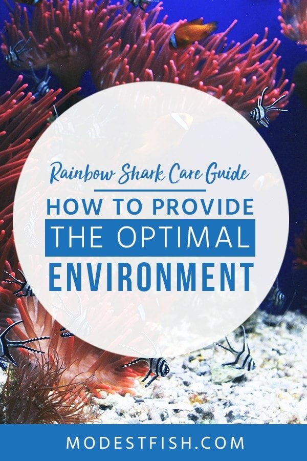 This is a detailed Rainbow Shark Care Guide from ModestFish that will show you how to provide the Optimal Environment for your lovely rainbow shark , and covers topics such as fish tank set up, water parameters and tank mates. #aquarium #fishcare #fishtank #ModestFish