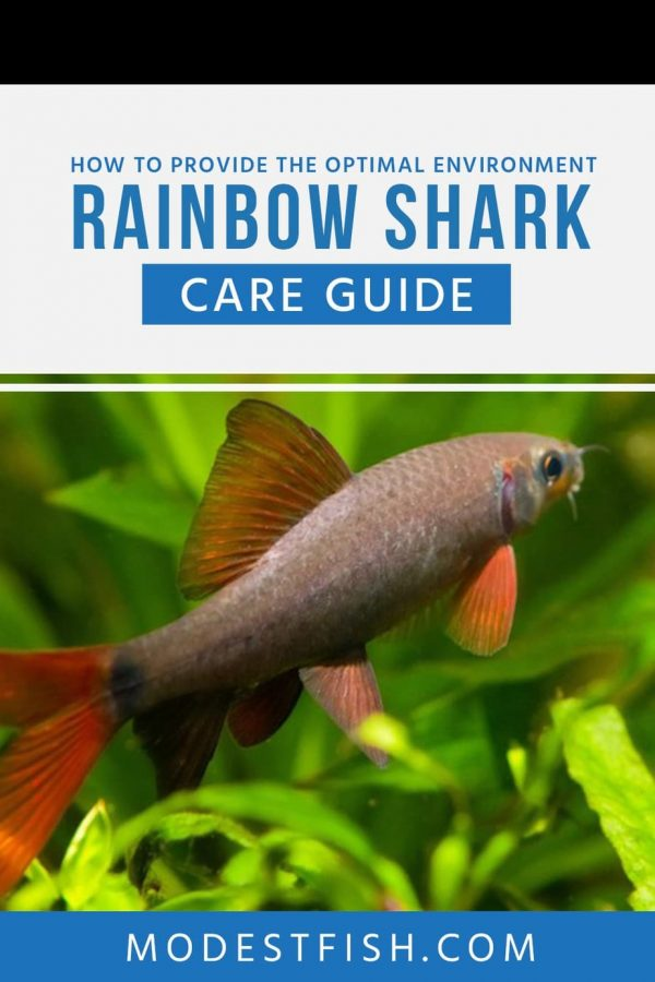 This guide will run through everything you need to know about rainbow sharks. You also learn how to take care of this amazing fish properly in your fish tank, including housing, ideal water parameters, feeding, and breeding techniques. #fishtips #modestfish