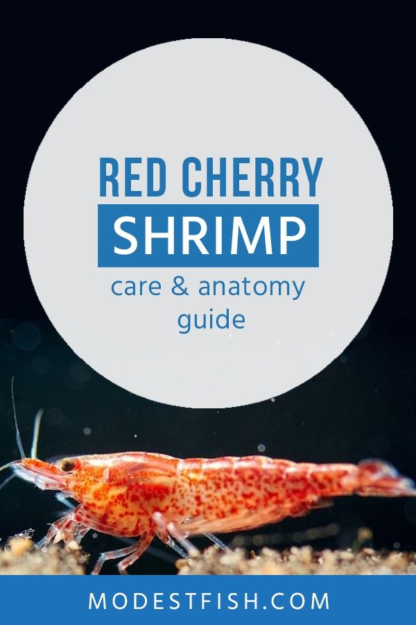 In this guide on Cherry Shrimp, you'll learn how to proivde them with optimal care so you can have a flourishing community. #modestfish #shrimp #aquarium