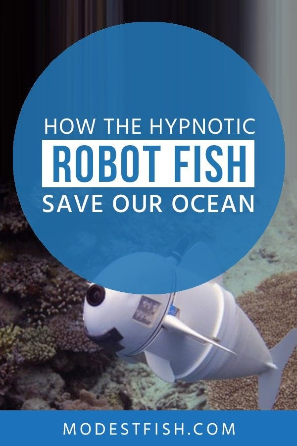This is in-depth The Hypnotic Robot Fish informational guide from ModestFish that will make it easy for you to understand how this hypnotic robot fish works and what it does and how they save the ocean. #climatechange #modestfish