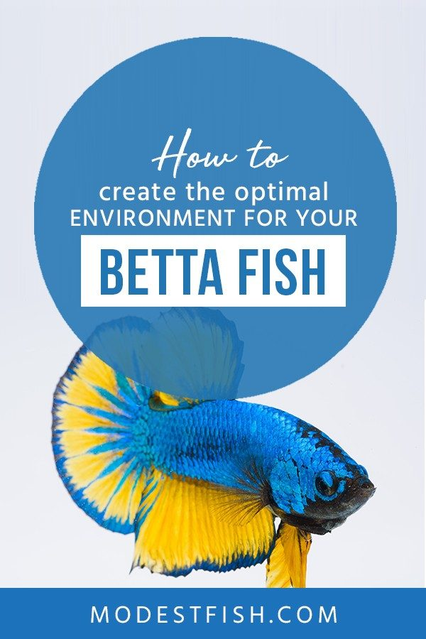 In in this guide, you'll learn how to provide your Betta with an optimal environment in order to help them thrive and entertain. #modestfish #bettafishtank #bettacare