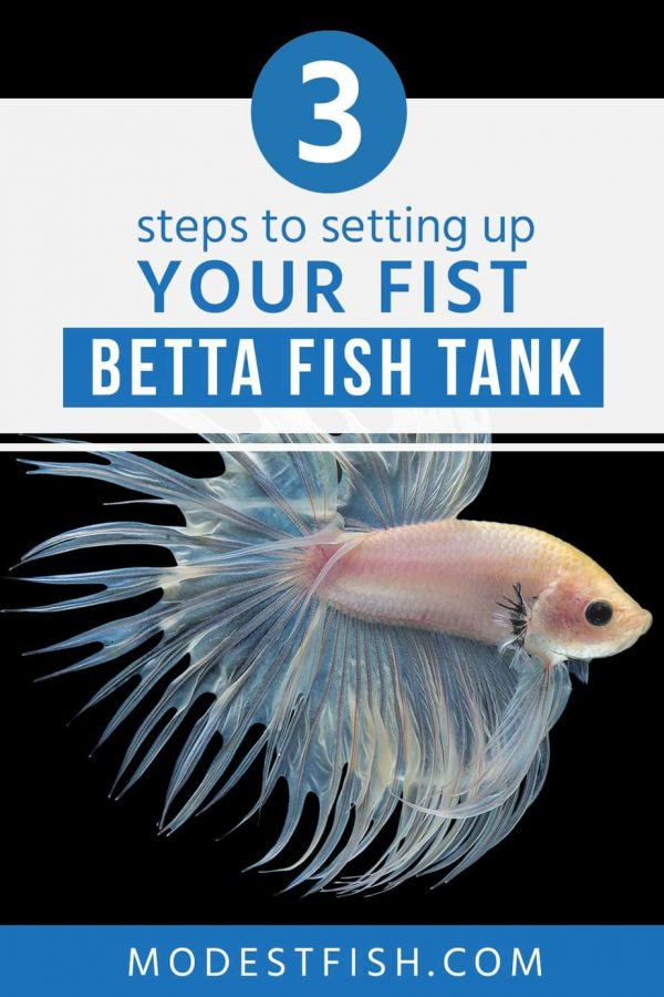 Learn a simple 3-step guide to setting up your fist Betta fish tank. After you finish this article and follow this guide, and you'll have a vibrant happy Betta as a friend for years! #modestfish #bettafishtank #bettacare